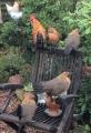 echte Hühner